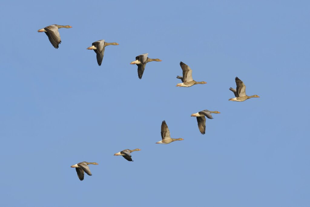 A flock of Greylag geese flying in a V formation, a visual metephor for working as a team